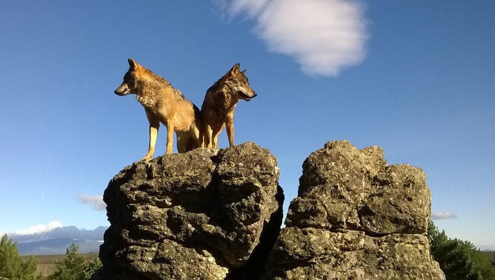 El Parlamento pedirá al Estado que el lobo no sea especie protegida al norte del Duero