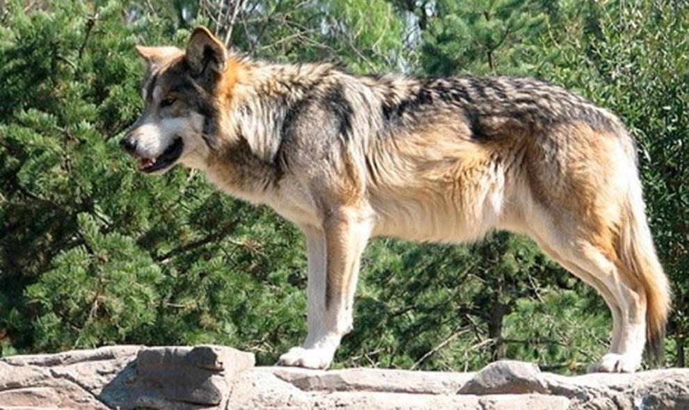 """Equo celebra la sentencia del Supremo a favor del lobo y emplaza a Parlamento y Desarrollo Rural a """"abrir el diálogo"""""""