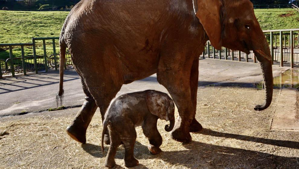 Nace en Cabárceno un nuevo elefante africano, el primero de tercera generación en España