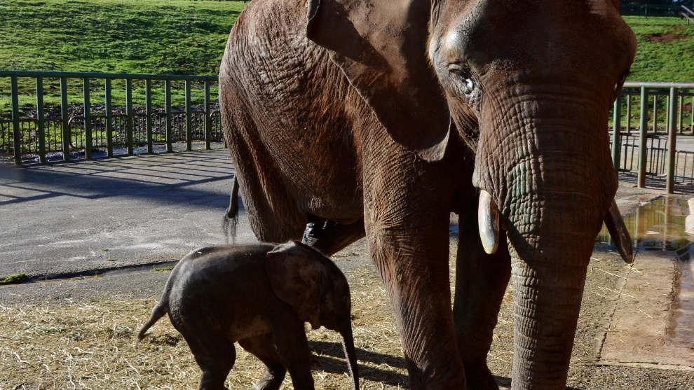 El último elefante nacido en el Parque de Cabárceno se llamará Neco