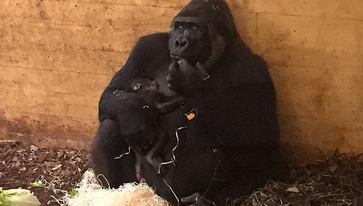 d0845412703b Nace un nuevo ejemplar de gorila en el Parque de Cabárceno