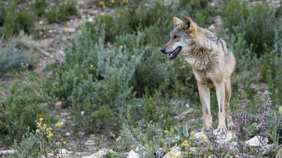 Denuncian que tres lobos y un cachorro de siete kilos han sido abatidos este mes de agosto en Cantabria
