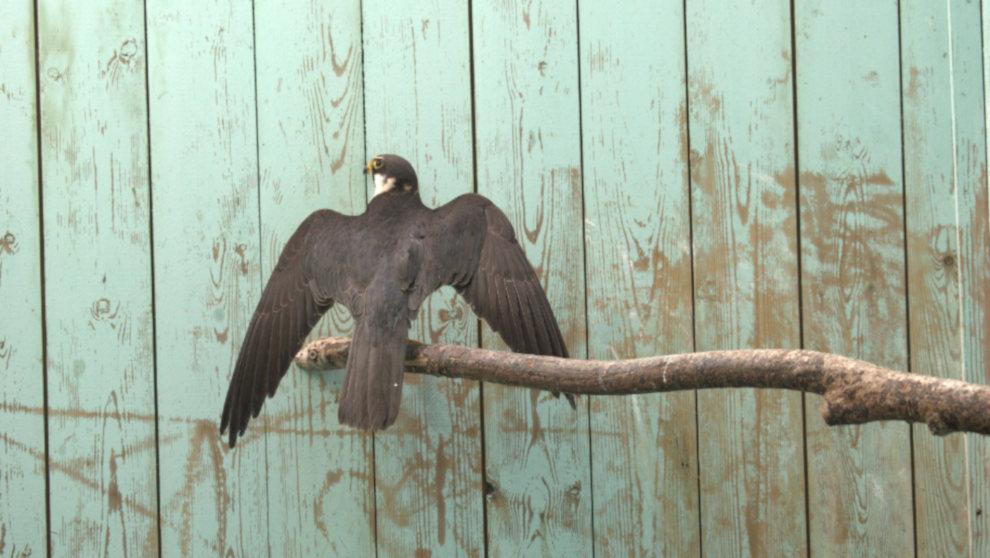 Especie de halcón, llamada 'Alcotan', que se encuentra en rehabilitación en el CRFSC