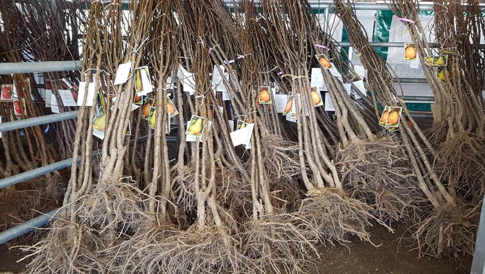 Torrelavega inicia el viernes el reparto de 4.420 ejemplares de la campaña del árbol