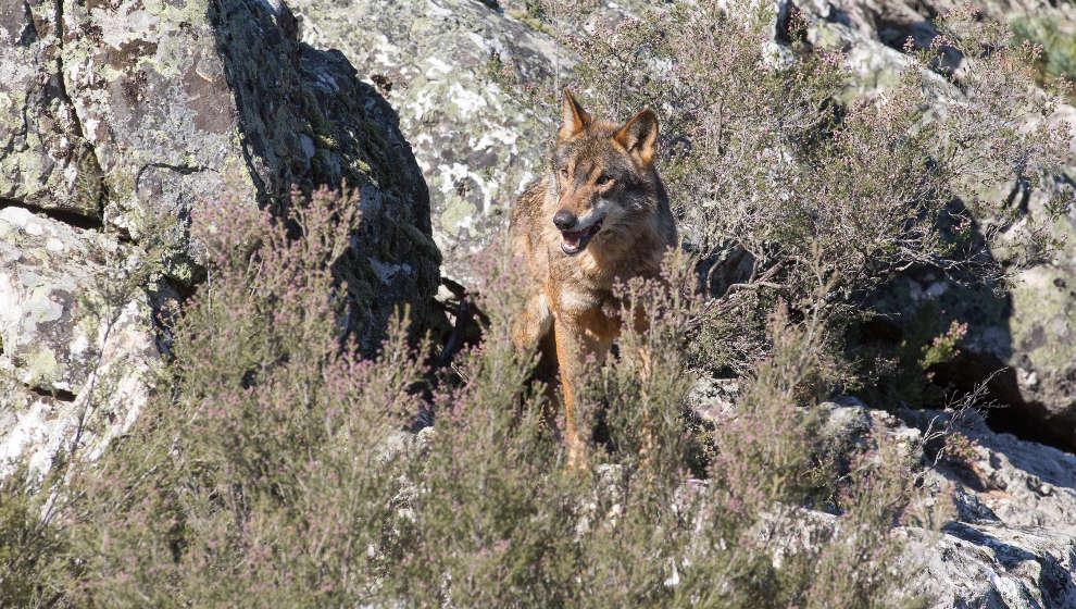 Un diputado del PSOE rompe la disciplina de partido y vota 'no' a dejar sin efecto la protección al lobo